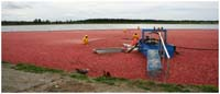 Photo of workers harvesting a crop of cranberries in Delta, BC
